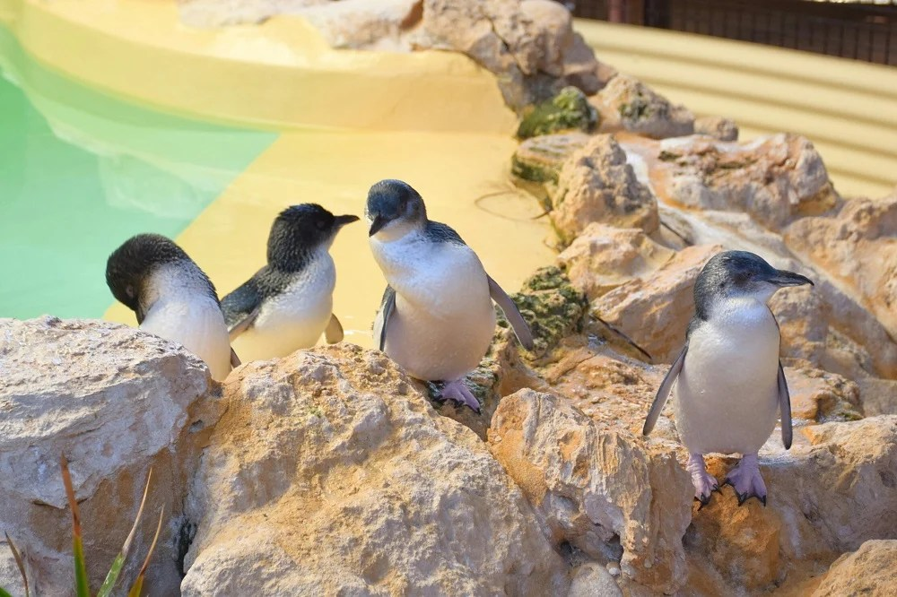 some of the Penguins on Penguin Island Perth