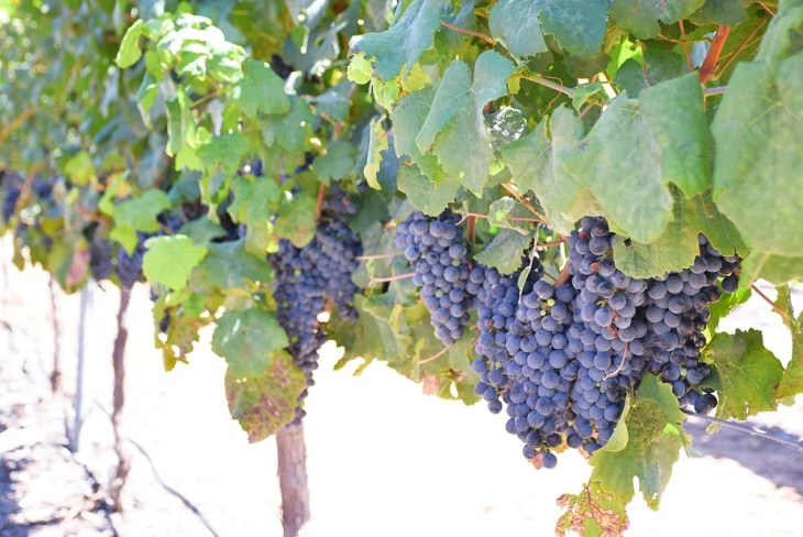 red wine grapes in the swan valley