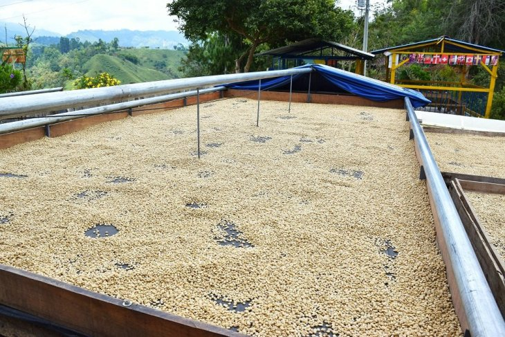 the coffee beans drying out