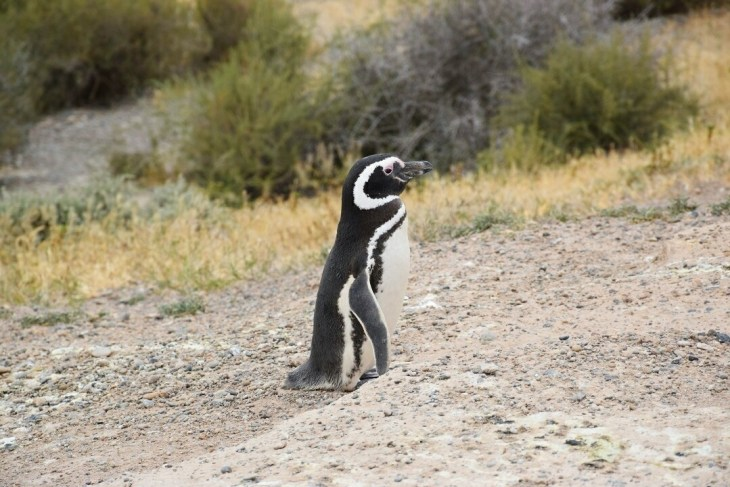 Seeing Penguins is a Patagonia highlight!
