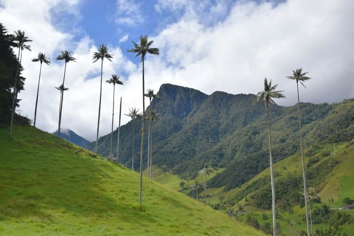 the wax palms in the valle de cocora