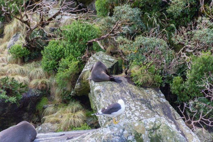 fur seals at milford