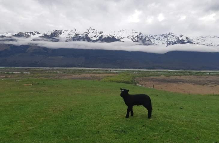 a baby black lamb