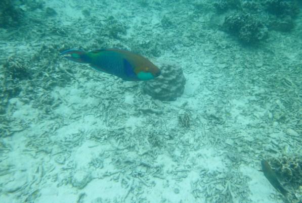 Parrotfish at Japanese Gardens snorkel site on Koh Nang Yuan