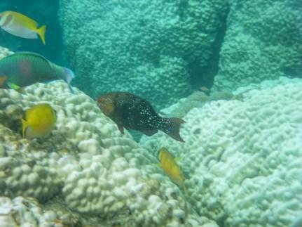 Tropical fish at Japanese Gardens snorkel site at Koh Nang Yuan