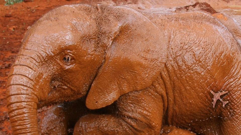Elephant playing in the mud in Nairobi, Kenya