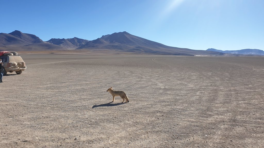 Renard du désert excursion sud Lipez