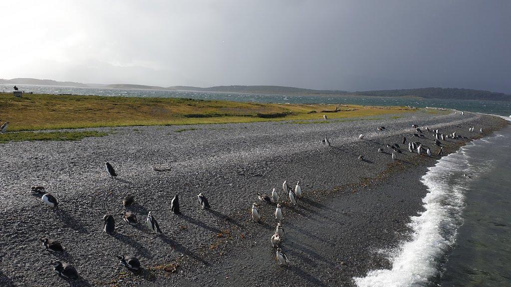 Pingüinos magallanicos en la Isla Martillo à Ushuaia en Argentine