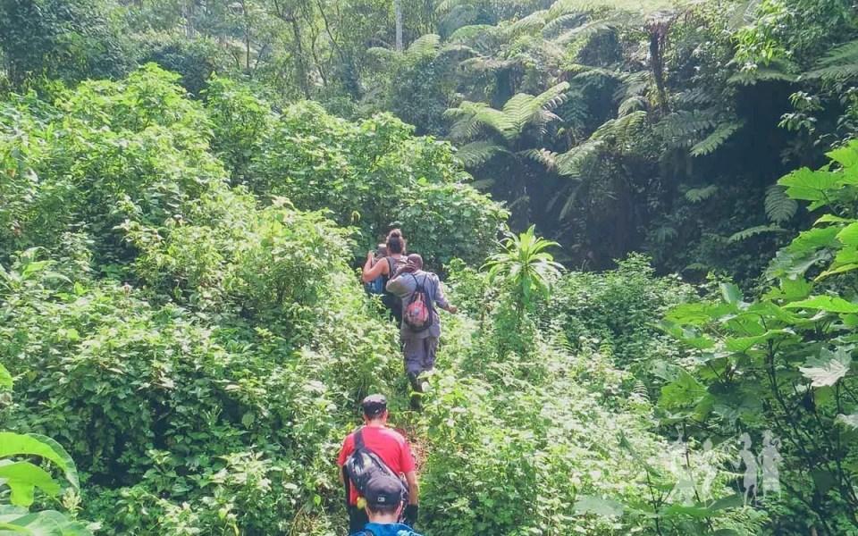 Mountain Gorilla Tracking in Bwindi