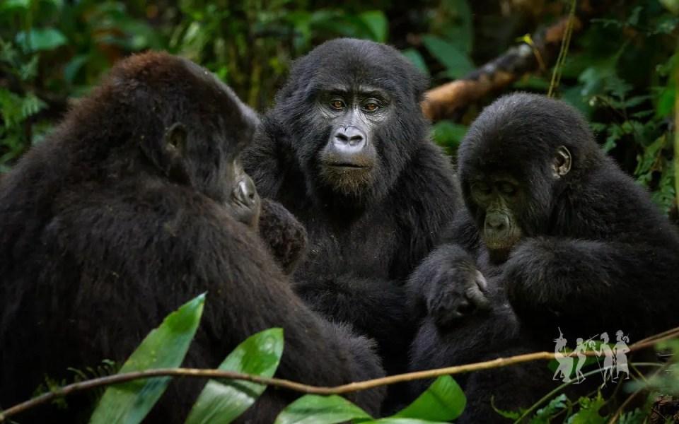 Moutain Gorillas in Bwindi