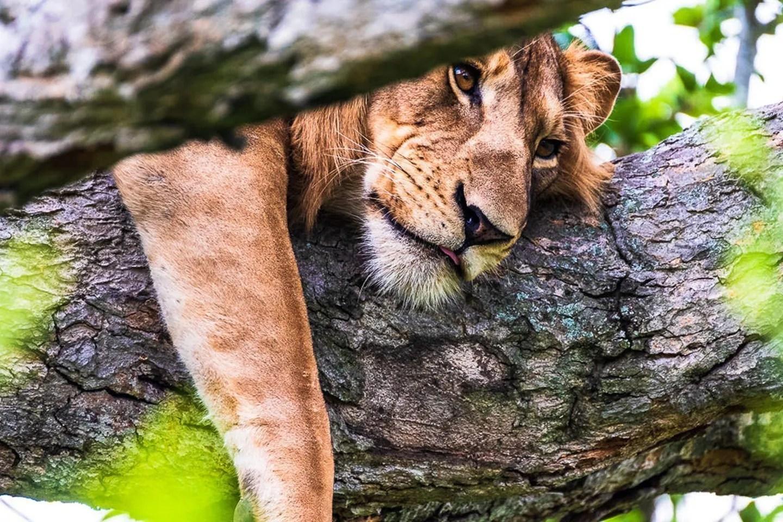 African lion in Queen Elizabeth NP