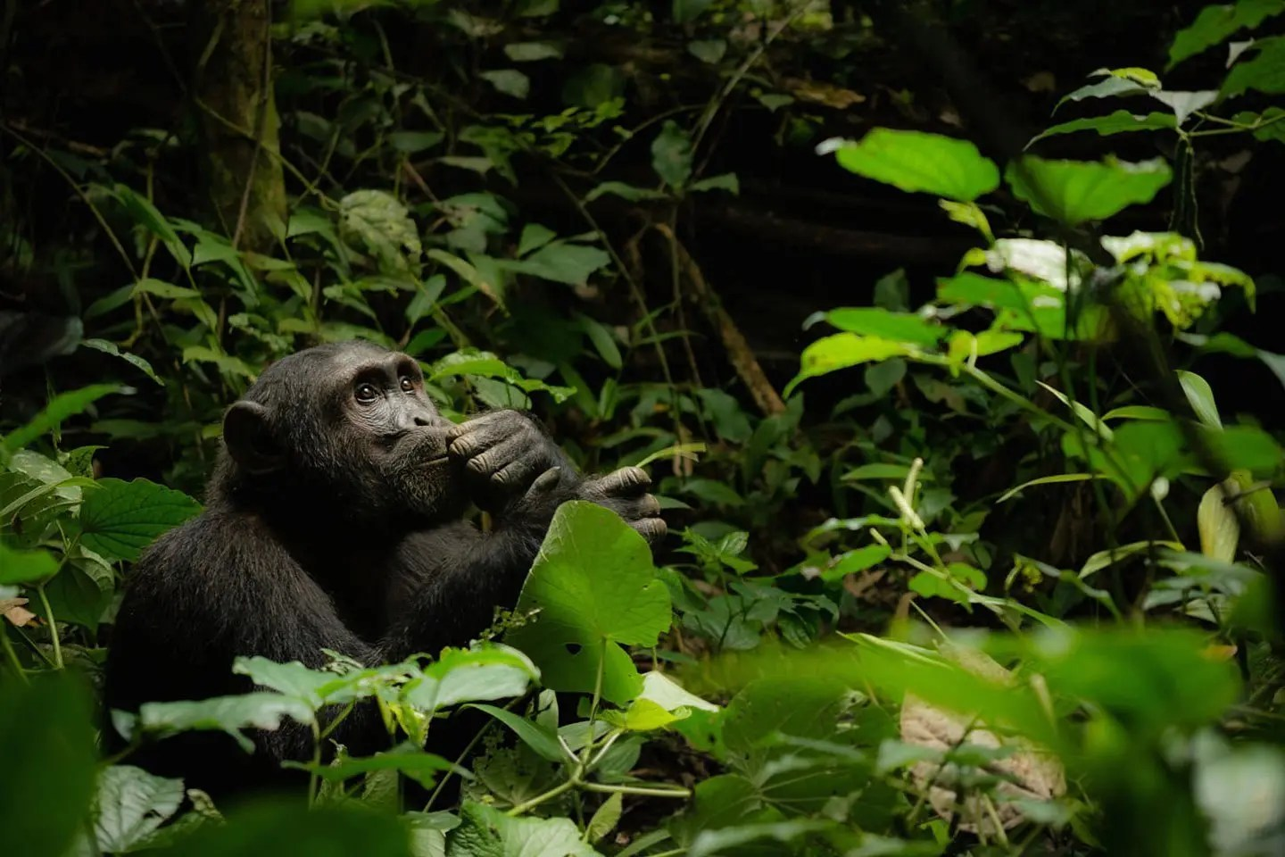 Common chimpanzee in Kibale National Park