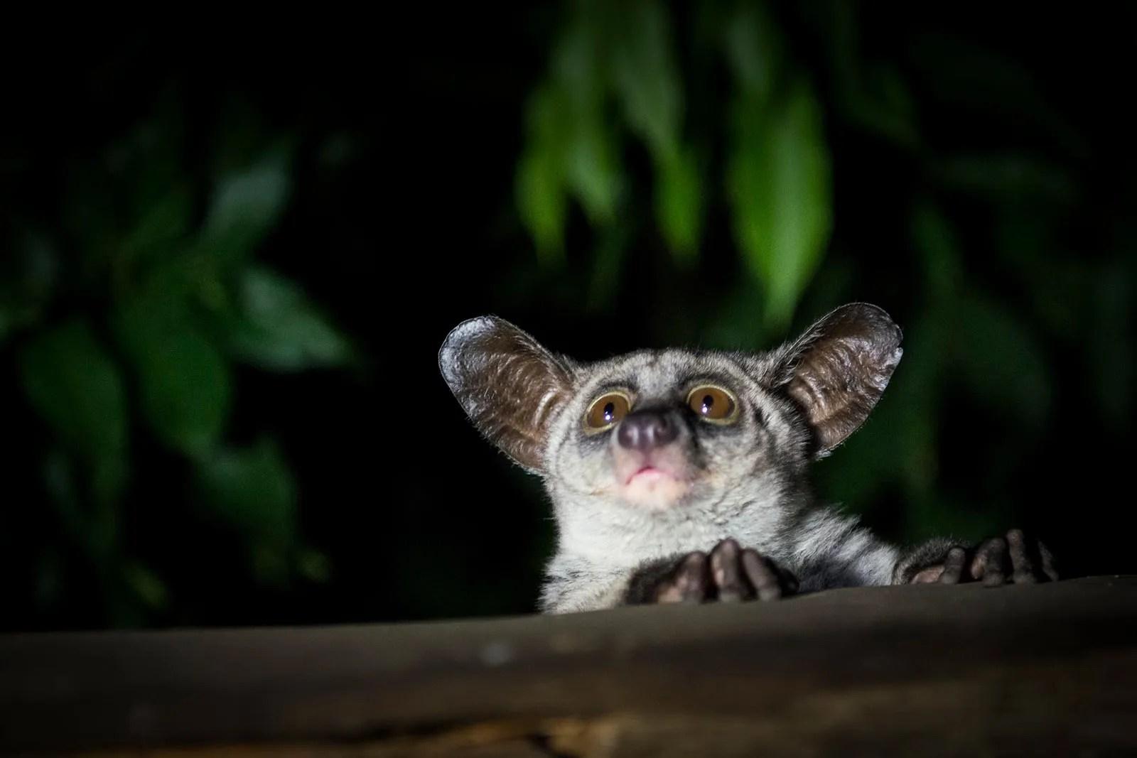 bushbaby uganda nocturnal animals