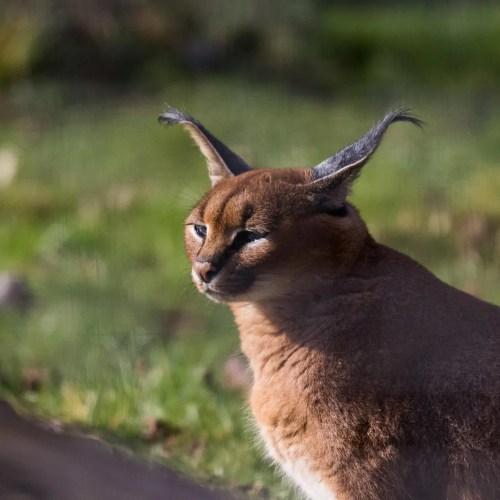 caracal uganda lesser cat