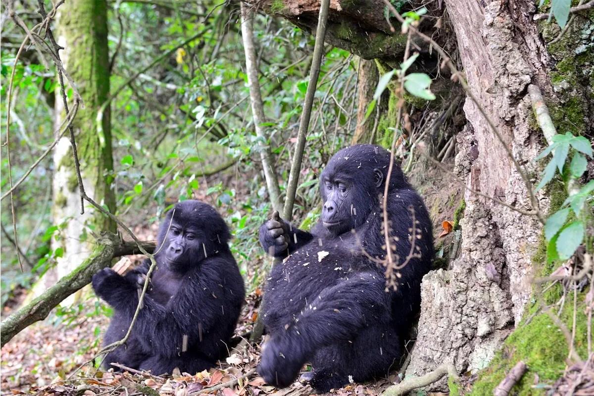Gorilla safari experience in Uganda