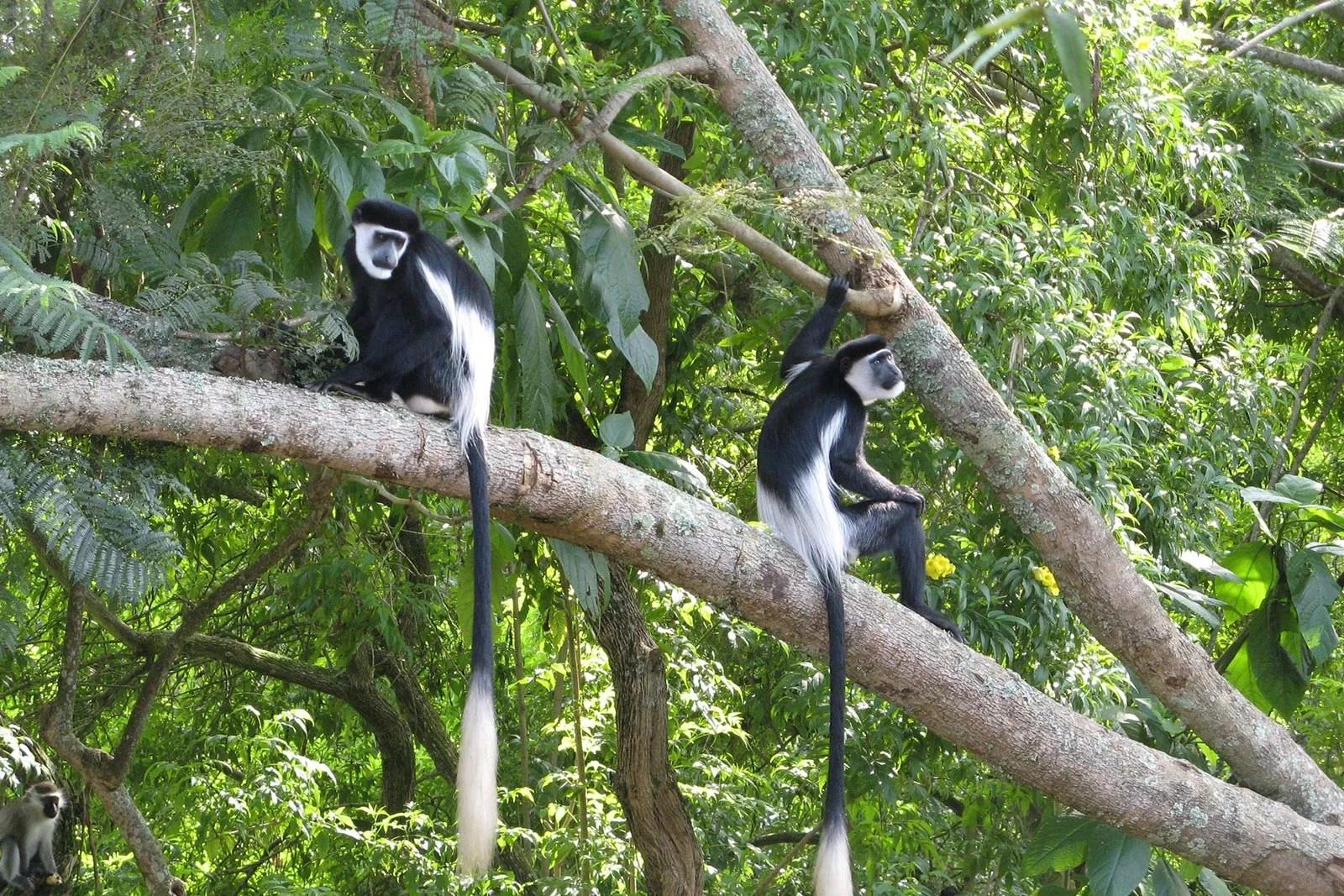 Colobus monkey Uganda primates