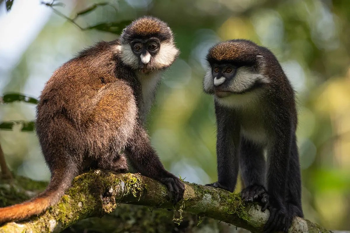 red tailed monkey uganda