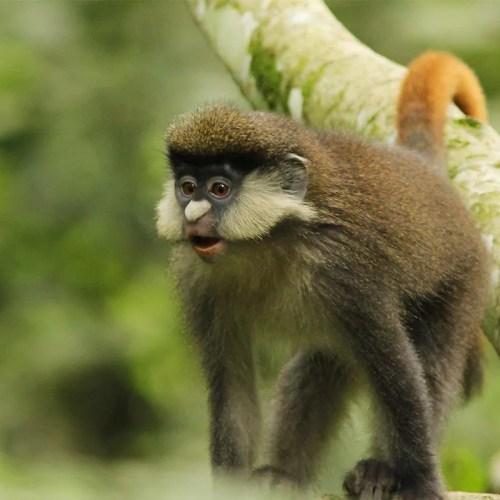 red-tailed monkey uganda