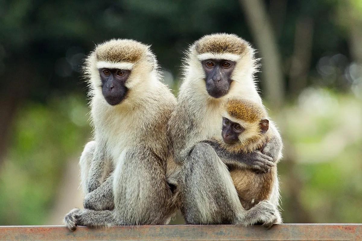 Vervet Monkey • Travel Guide • Destination Uganda