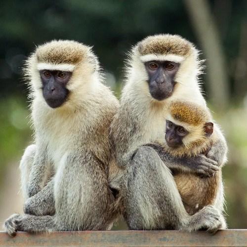 vervet monkey uganda
