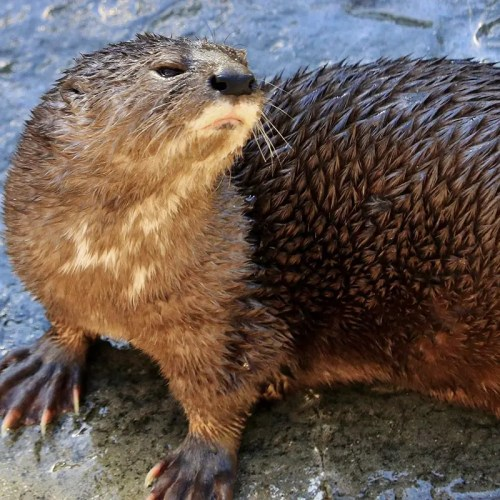 Spotted Necked Otter (Hydrictis maculicollis)
