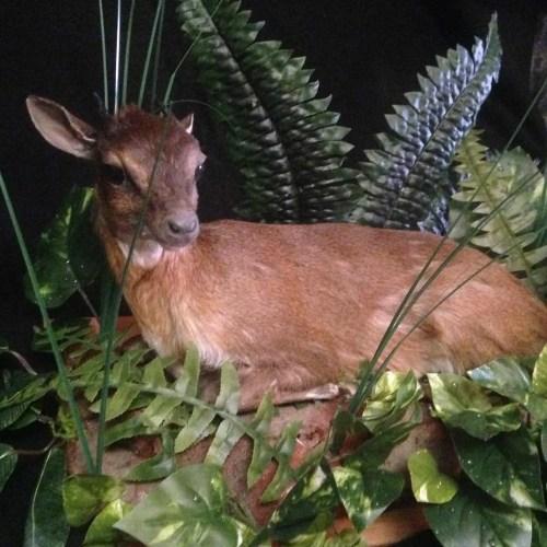 Bates' Pygmy Antelope