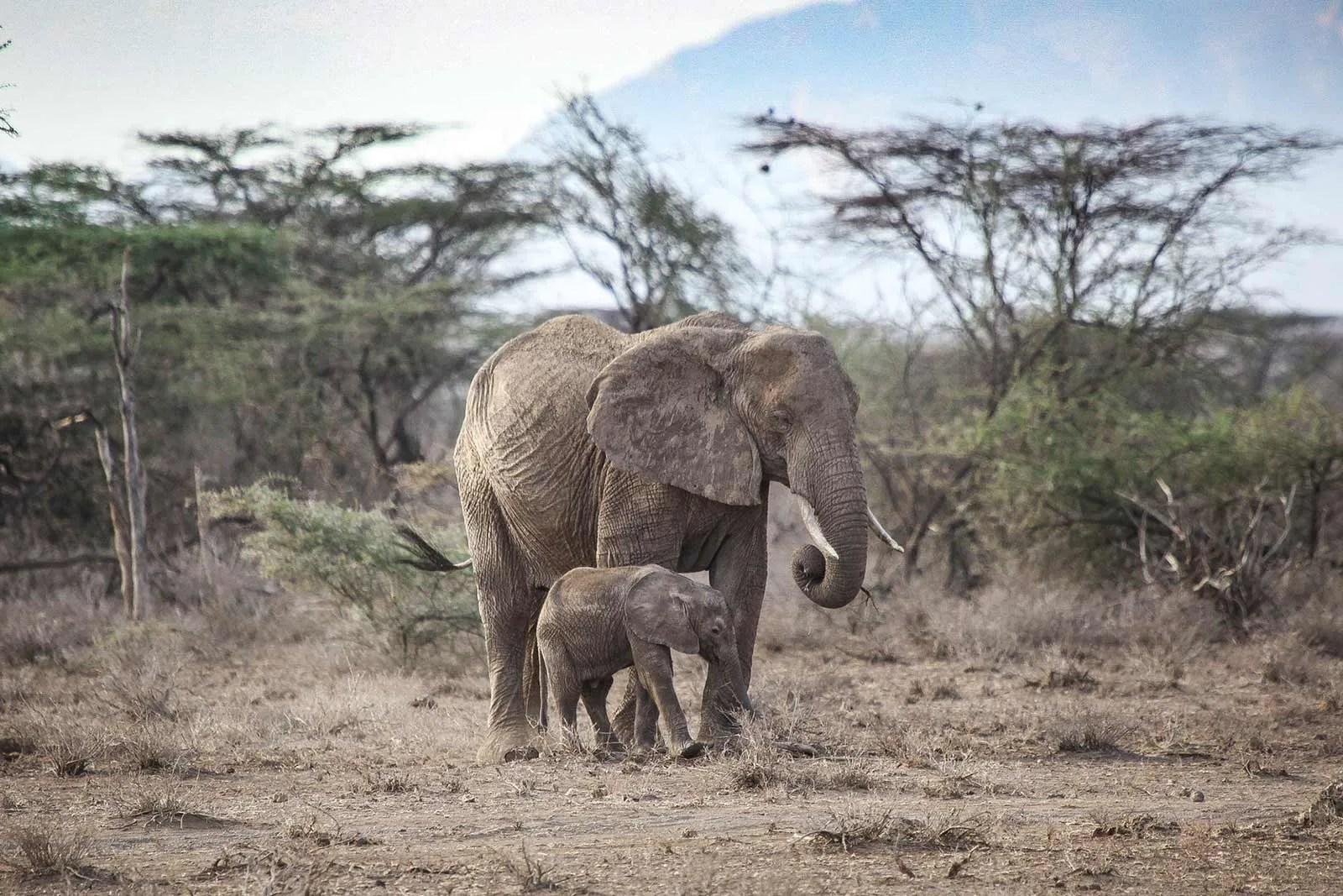 African elephant (Loxodonta africana) in uganda