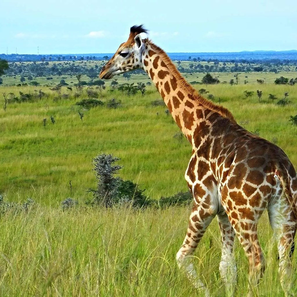 Rothschild Giraffe in Uganda: Eight Days of Unforgettable Uganda Safari Experience