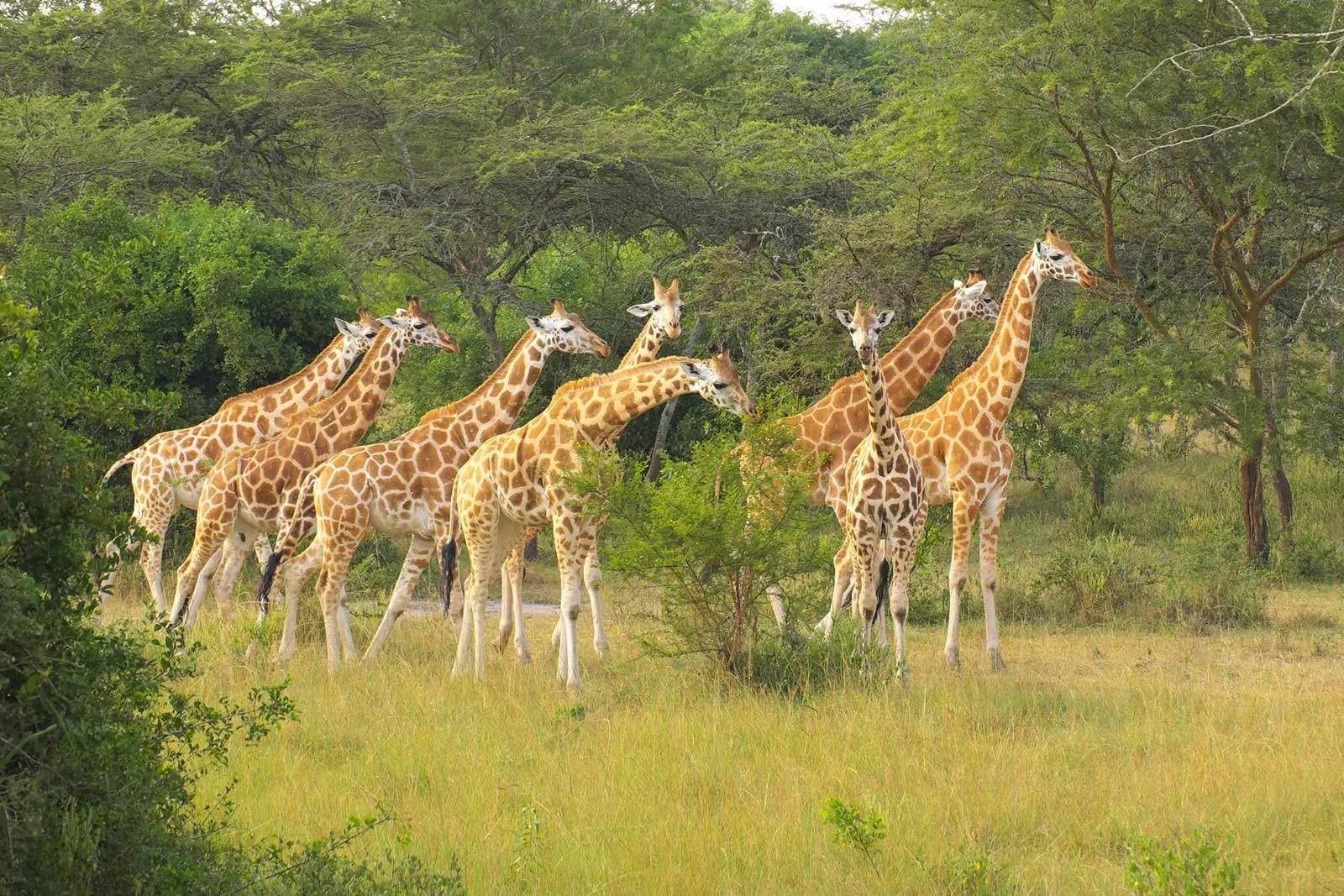 Giraffe, Northern giraffe, rothschild's giraffe in Uganda