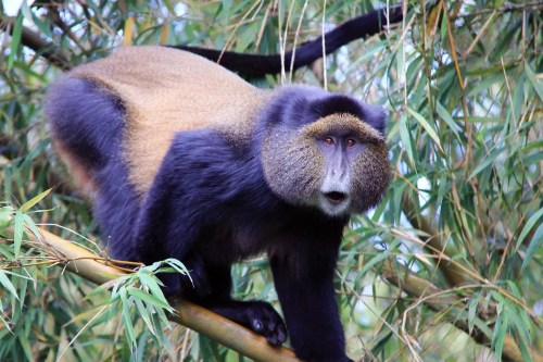 golden monkeys in Uganda