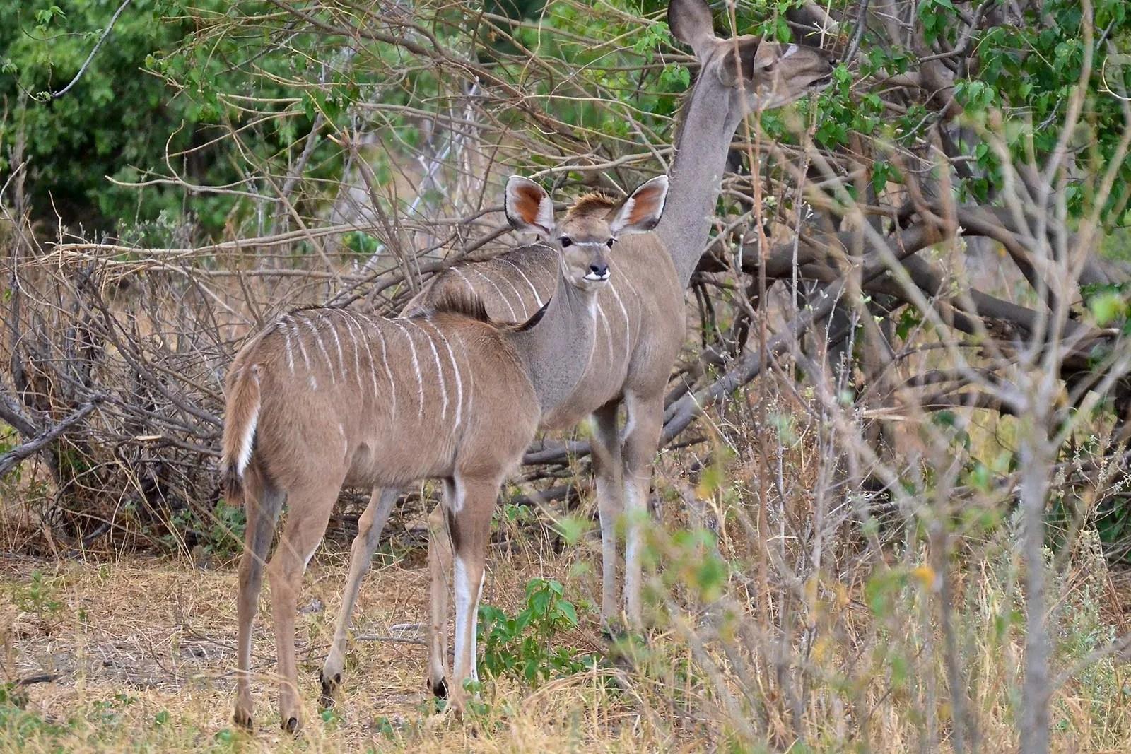 Greater Kudu (Tragelaphus strepsiceros) Females
