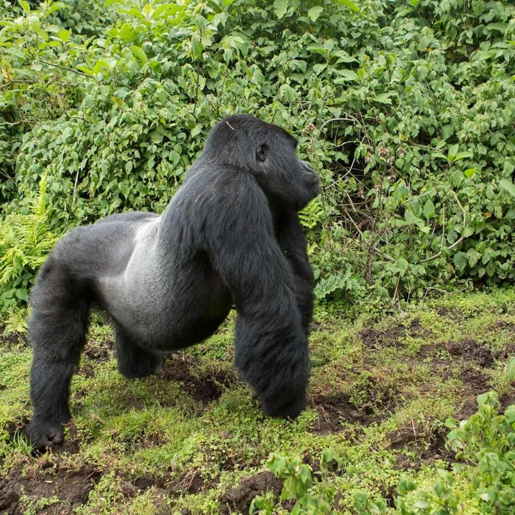Silverback mountain gorilla trekking trip in bwindi