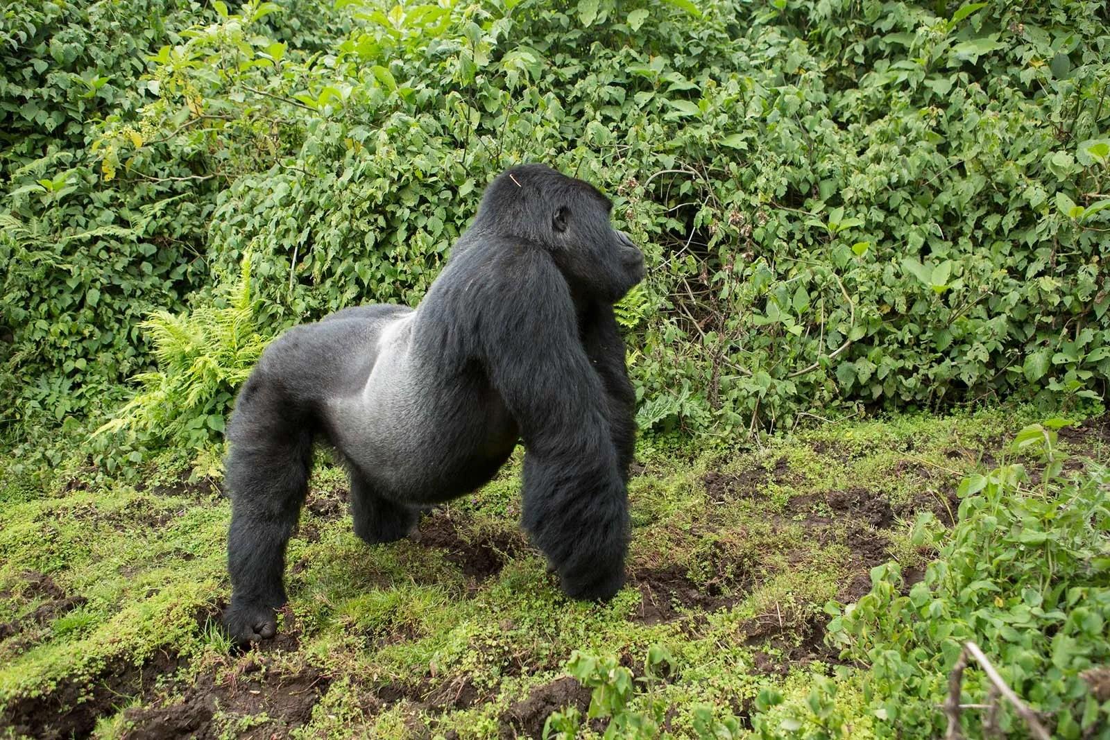 Silverback mountain gorilla in Rwanda