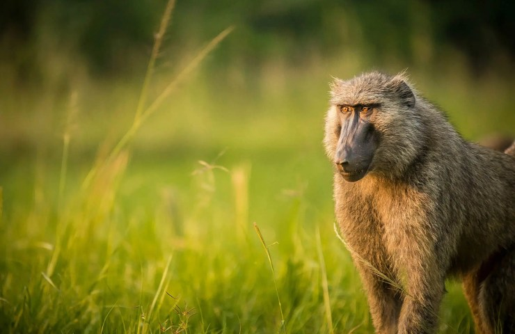 Boboon, Safari Photography Tips for Wildlife Trip to Uganda