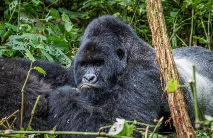Uganda's big 5 animals list, the five most best to see on uganda safari