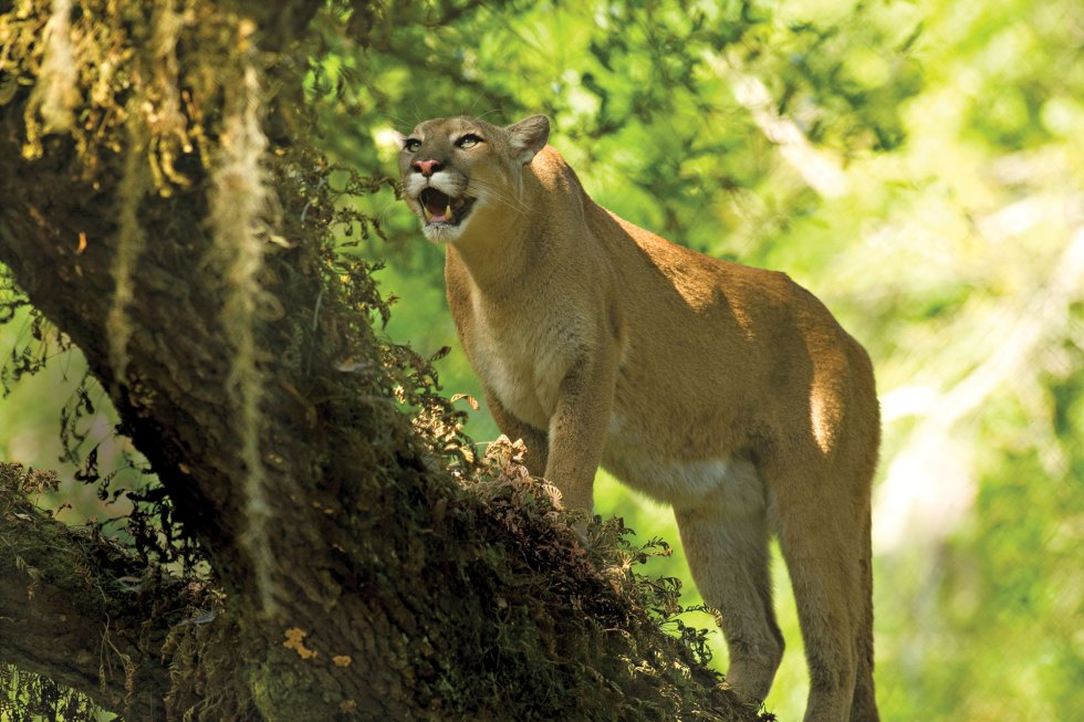 Florida Panther climbs live oak tree