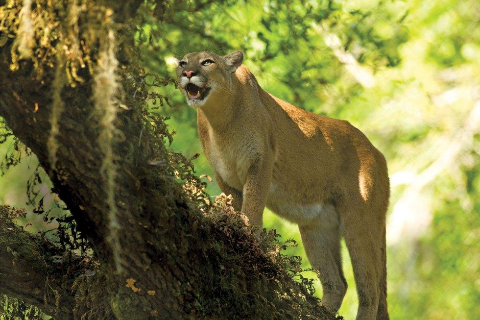 Florida Panther climbs live oak tree