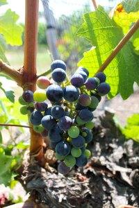 Uva de viñedo mendocino