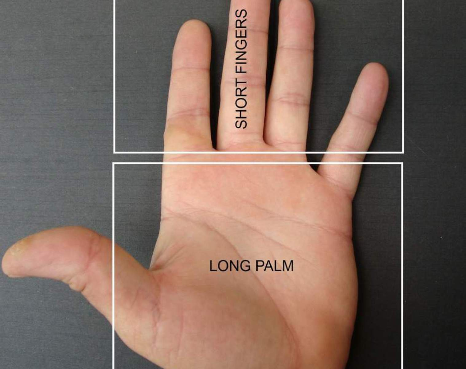 long fingers, fire shaped hand, short fingers, large palm. career in palms, career choices, finger length