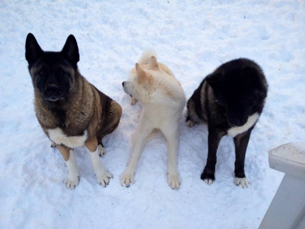 "After a vet tech's 10-year-old dog lost both eyes to glaucoma, her two younger pets stepped up to act as guides to the injured animal.....Kiaya is an Akita who lives in Waterford, Michigan, with her owner, Jessica VanHusen.....""She's my furry daughter,"" VanHusen told ABC News today. ""She's amazing."".."
