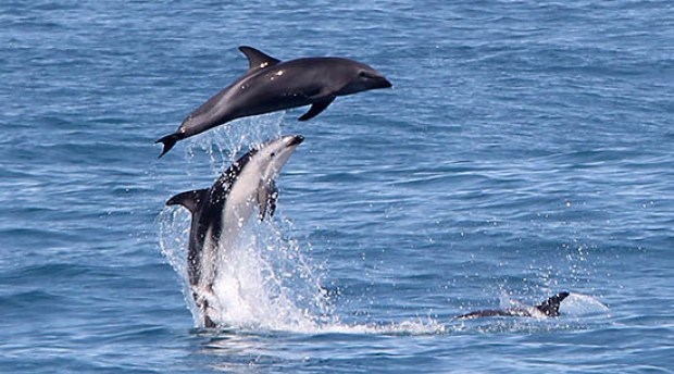 Melanistic_Dolphin
