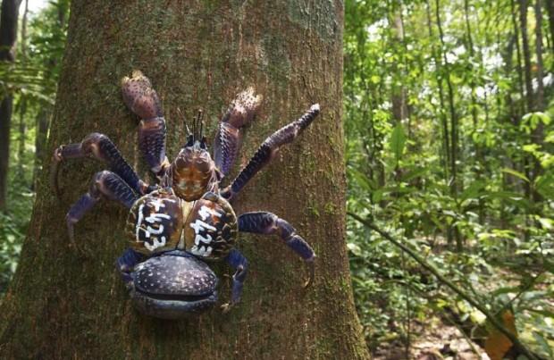 giant_coconut_crab_02