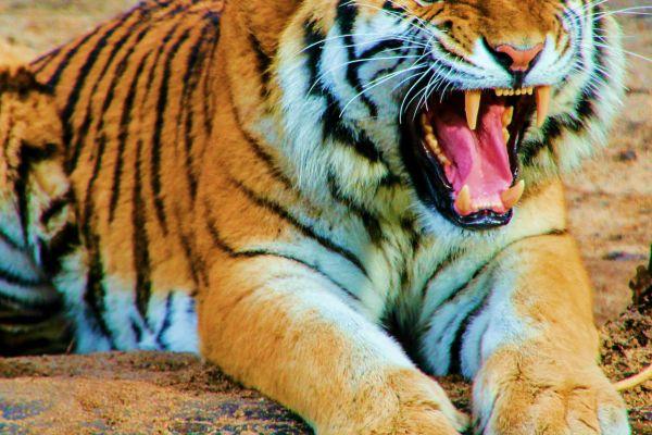tiger balm nail fungus