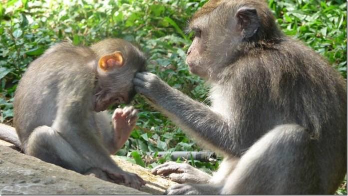 L'activité favorite des macaques, Forêt des singes, Ubud