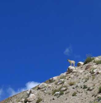Trek au Zanskar en Himalaya - Chamois - benoit richer