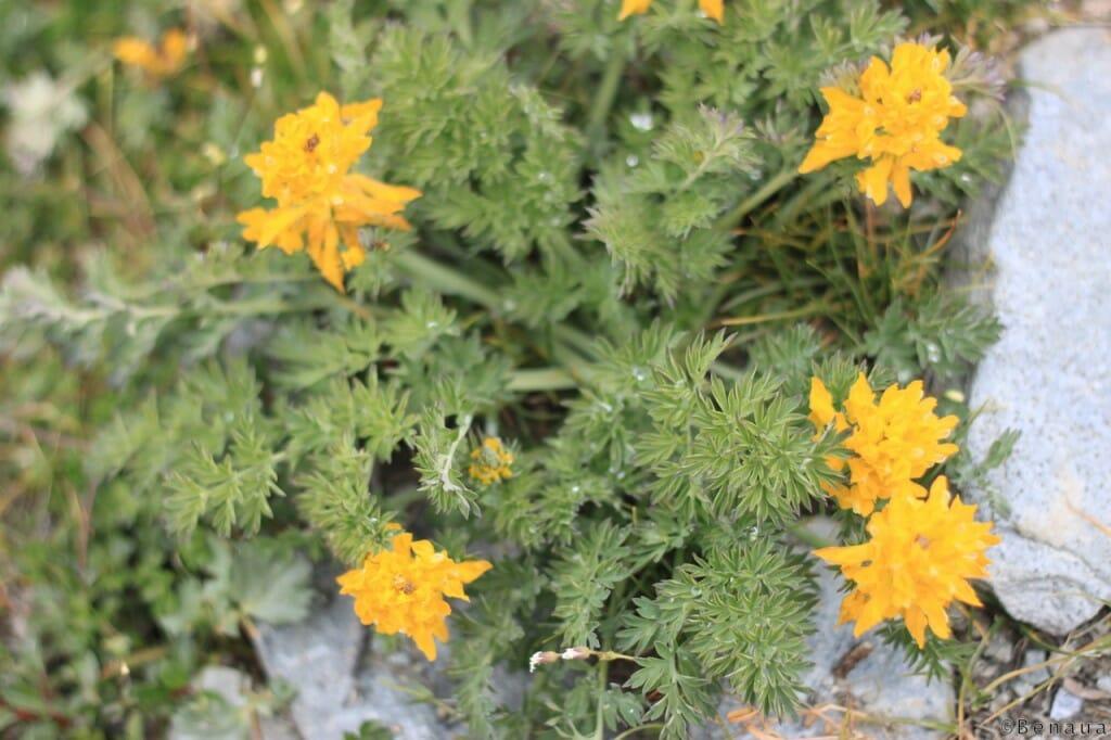 Trek au Zanskar en Himalaya - fleurs 1 - Benoit Richer