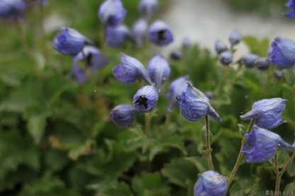 Trek au Zanskar en Himalaya - fleurs - benoit richer