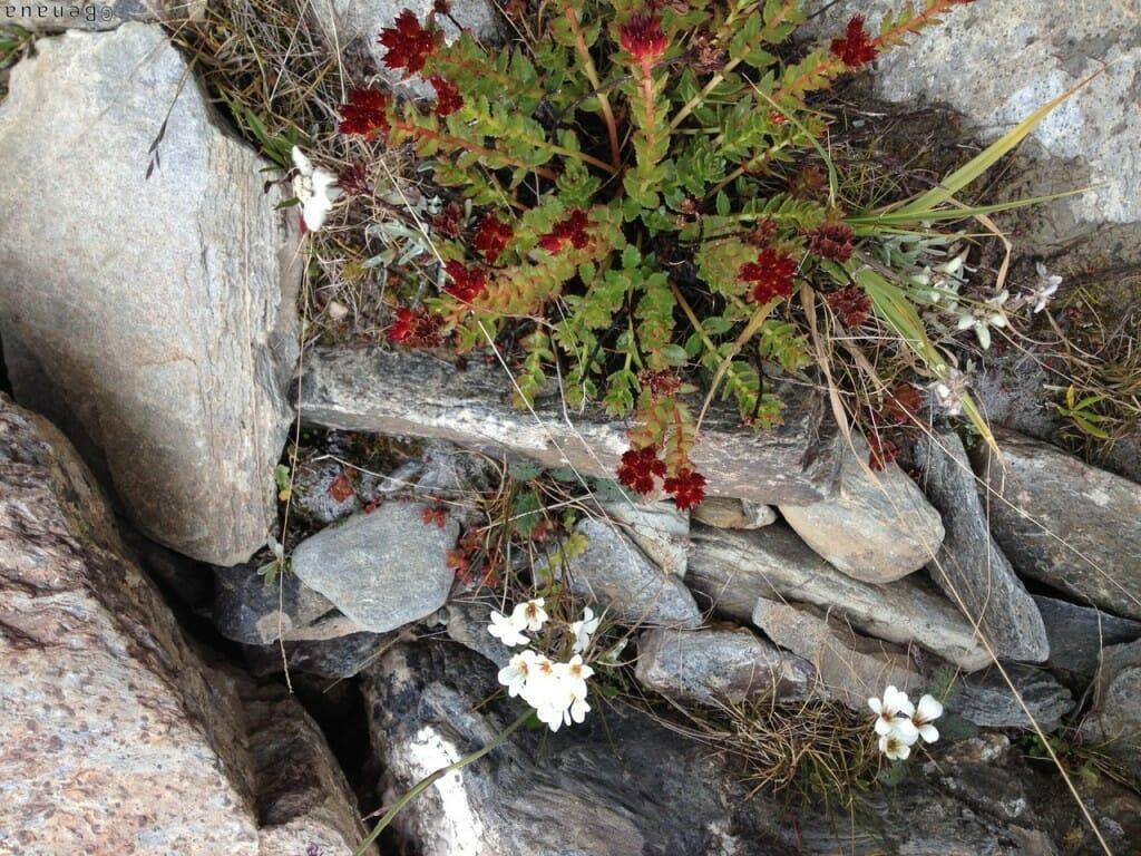 Trek au Zanskar en Himalaya - végétation local
