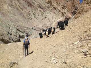 Trek au Zanskar en Himalaya - Yack sur la montagne