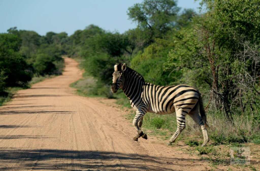 Récit de voyage : à la recherche du dernier des Big Five du Kruger